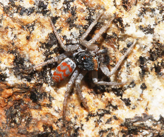 Small red-marked jumping spider - Maevia