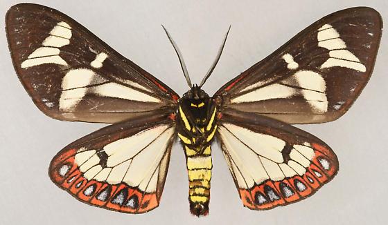 Moth, ventral male - Dysschema howardi - male