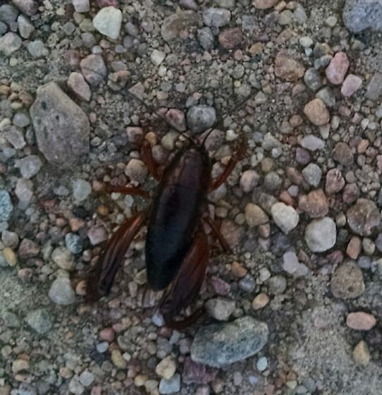 Cricket- or cockroach-like bug - Daihinia brevipes