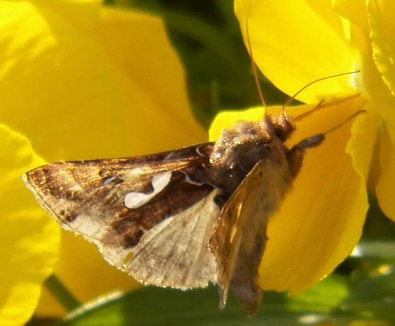 Pansy moth - Megalographa biloba