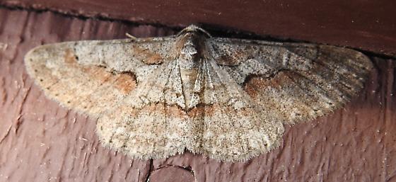 6582 – Iridopsis vellivolata – Large Purplish Gray - Iridopsis vellivolata