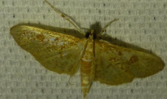 Palpita freemanalis - Freeman's Palpita Moth  - Palpita freemanalis