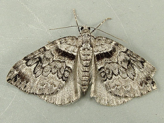 Dysstroma hersiliata (or formosa) - Formosa Carpet 7191 - Dysstroma hersiliata