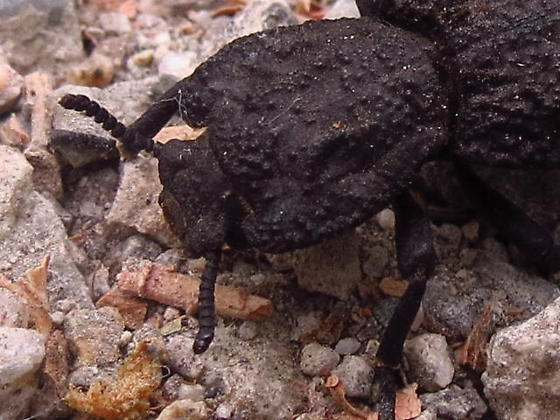 Darkling Beetle Species - Phloeodes diabolicus