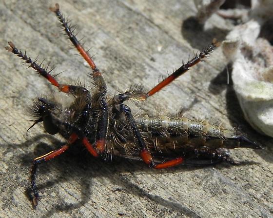 Fly - Neomochtherus comosus