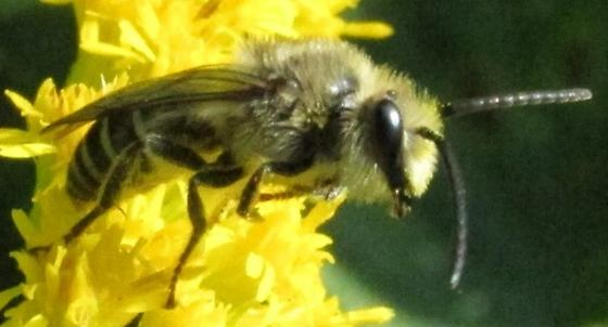 bee 1 - Colletes