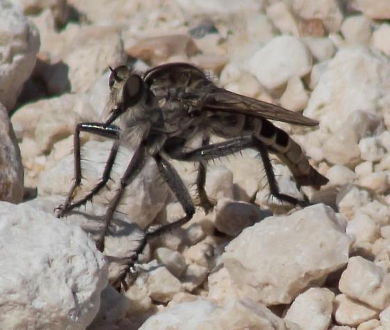 Dark-legged robber fly - Triorla interrupta