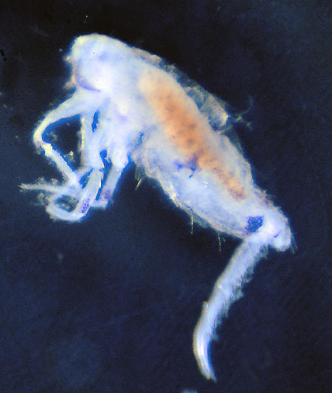 Unknown Springtail