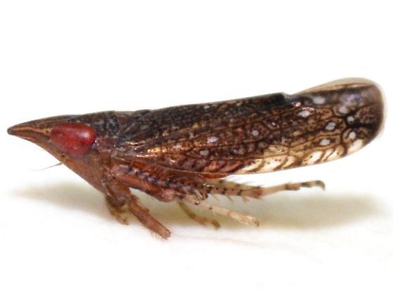 Scaphytopius triangularis - Scaphytopius rubellus - male