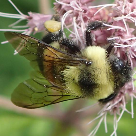 Bee - Bombus affinis - female