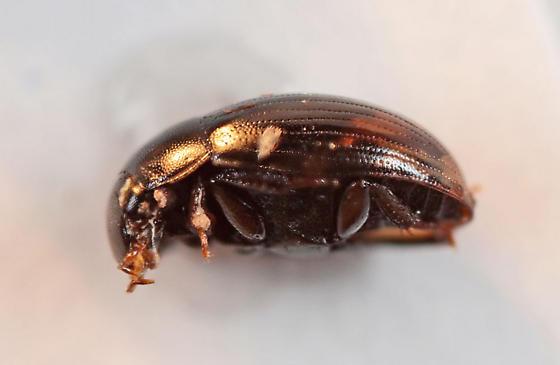 LRB (little round beetle) - Cercyon praetextatus