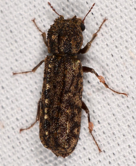 Lichenophanes bicornis ? - Lichenophanes bicornis