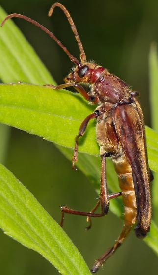 Large Long-horned Beetle - Bellamira scalaris - female