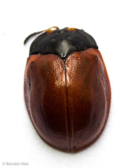 Chelymorpha cribraria