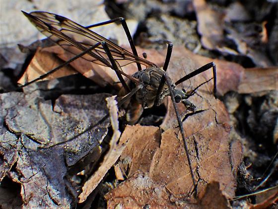 Ovipositing Tipula - Tipula - female