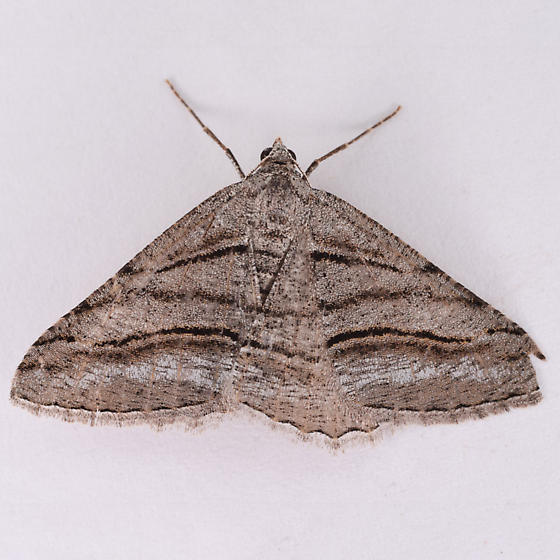 unknown moth - Digrammia excurvata