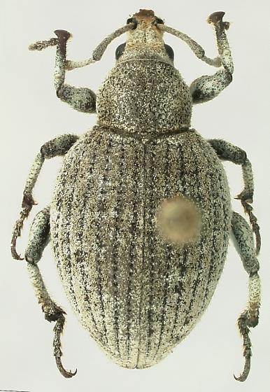 Agraphus bellicus (Say) - Agraphus bellicus