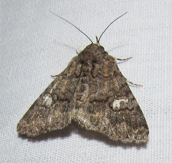 unkn moth - Heteranassa mima