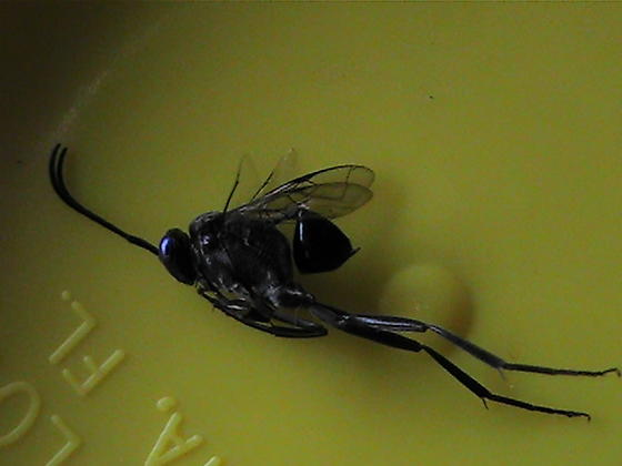 black wasp-like bug - Evania appendigaster