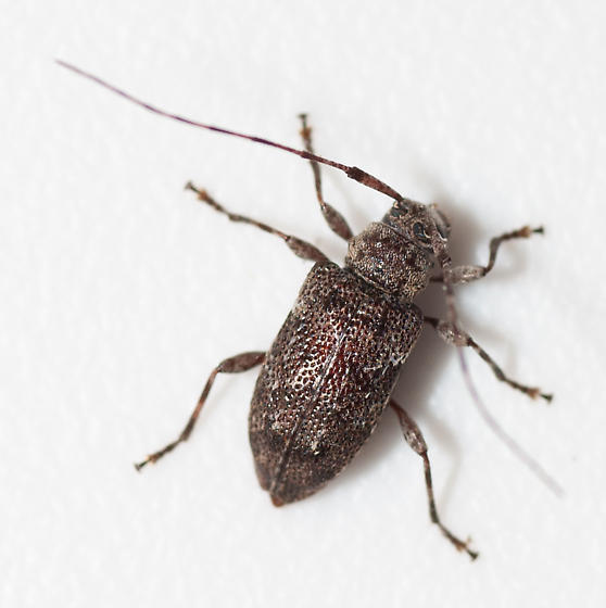 Louisiana cerambycid - Astylopsis sexguttata