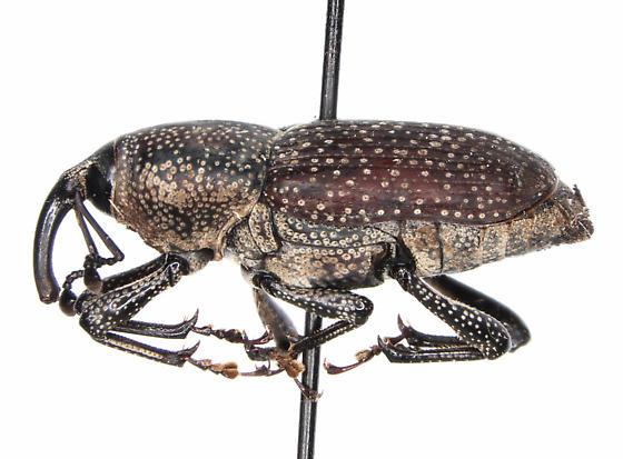 Rhodobaenus pustulosus