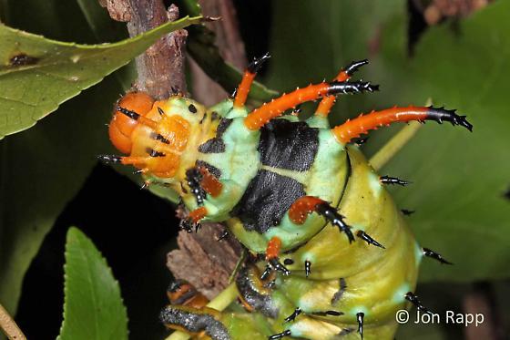 Hickory Horned Devil Caterpillar - Citheronia regalis