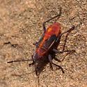 Western Boxelder Bug nymph? - Boisea