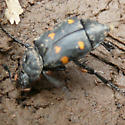 Nicrophorus defodiens, but what are the little critter attacking it?  ticks? - Nicrophorus defodiens