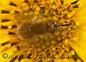 8021543 Bee fly - Sparnopolius confusus