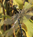 Which Darner Please 2 - Aeshna constricta