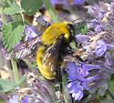 Morrison's Bumble Bee - Bombus morrisoni - male