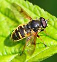 Male of the species - Sericomyia bifasciata - male