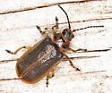 Coleoptera - Galerucella nymphaeae