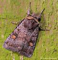 Unknown Moth - Adelphagrotis stellaris