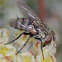 Small Fly - Chetogena