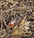 Grasshopper wasp - Prionyx