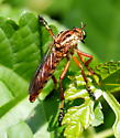Hanging thief robber fly? - Diogmites
