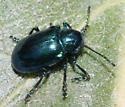 Cobalt Milkweed Beetle - Chrysochus cobaltinus