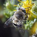 ID for black and white striped bee? - Anthophora urbana - female
