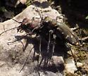 tiger beetle - male - female