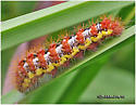 Smartweed Caterpillar - Acronicta oblinita