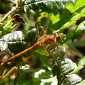 Dragonfly - Cattail Marsh - Sympetrum vicinum