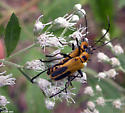 Goldenrod Soldier Beetle - Chauliognathus pensylvanicus - male - female
