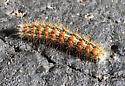 Unknown caterpillar, Johnson Co, KS - Acronicta insularis