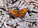 Is this a Zephyr Anglewing? - Polygonia