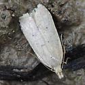 twirler moth - Dichomeris