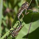Robber flies - Promachus vertebratus - male - female