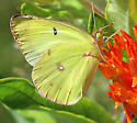 Orange Sulphur - Colias eurytheme