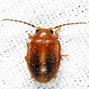 Prionocyphon limbatus