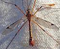 Large crane fly